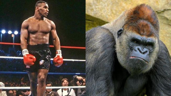 Mike Tyson si chtěl zaboxovat s gorilou, zkoušel prý dokonce podplatit ošetřovatele v zoo